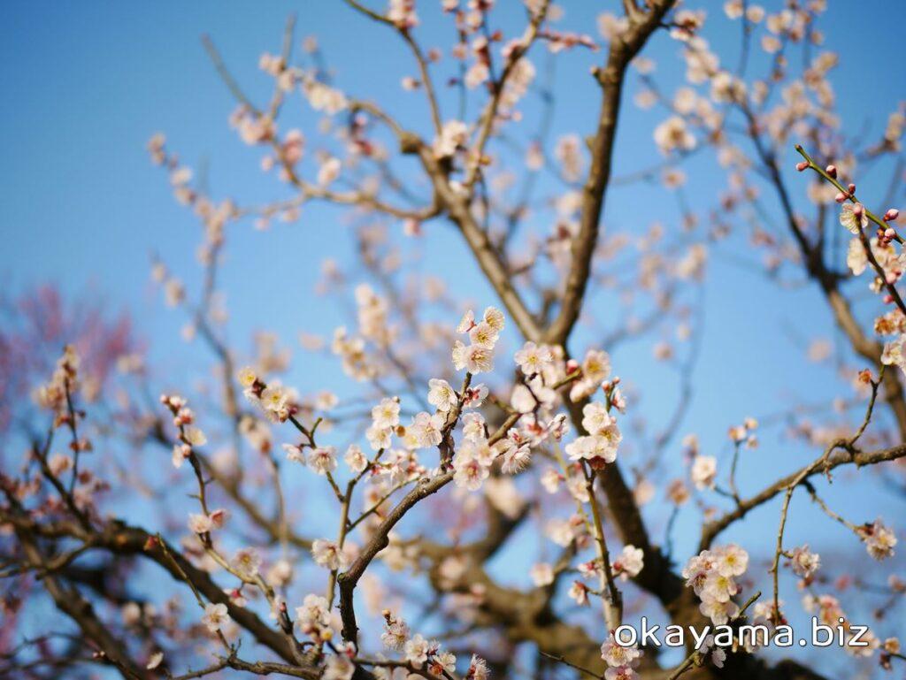岡山後楽園 梅林 梅の花 okayama.biz