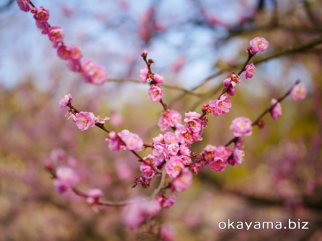 岡山後楽園 梅林 ピンクの梅の花 okayama.biz