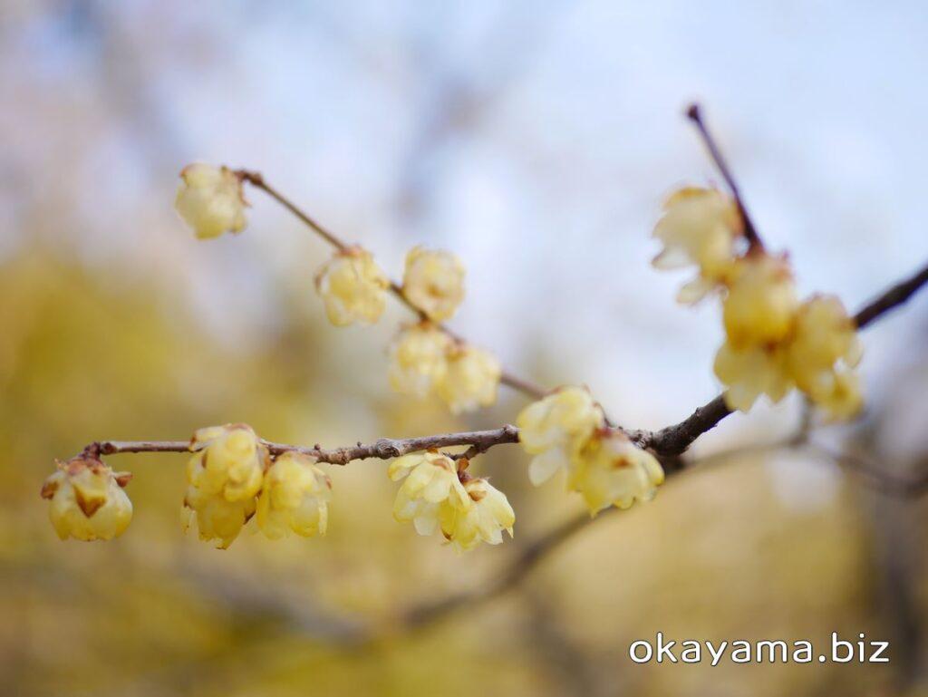 岡山後楽園 梅林 蝋梅(ロウバイ)の花 okayama.biz