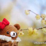 岡山後楽園 梅林 蝋梅(ロウバイ)の花とチャイロイコグマ okayama.biz