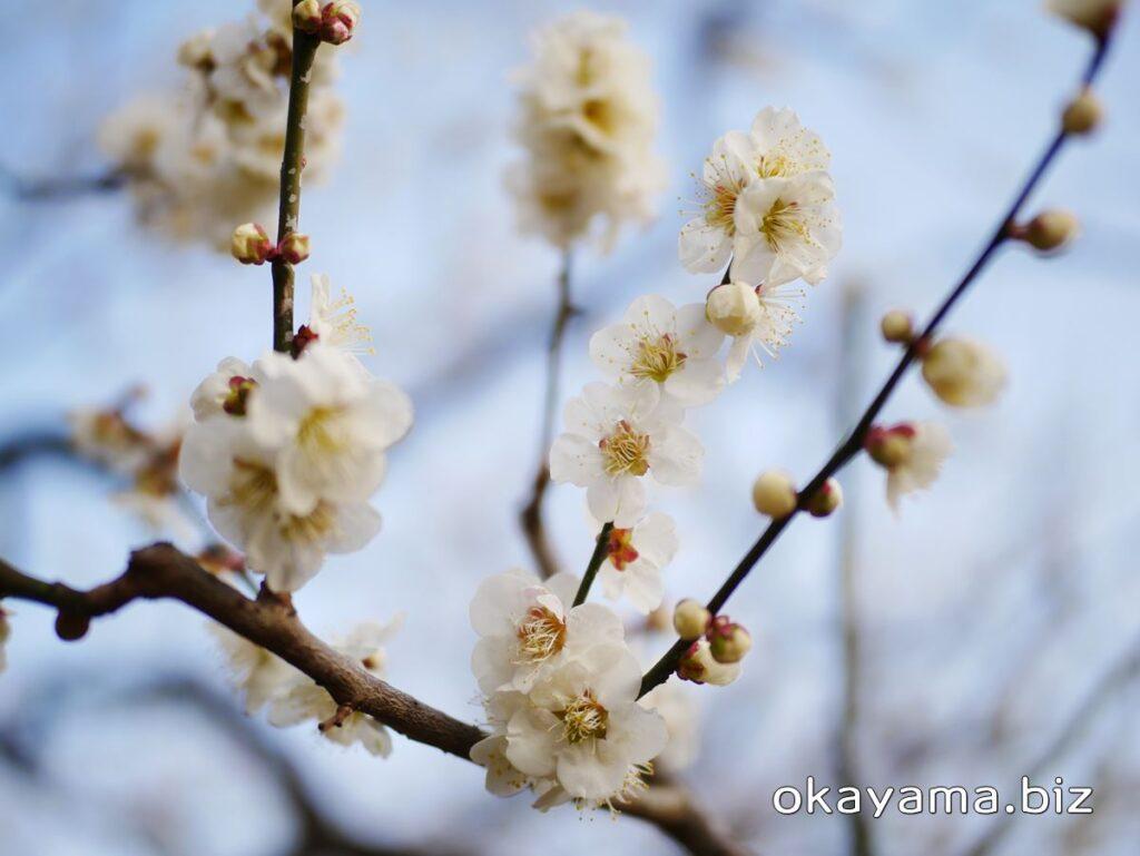 岡山後楽園 梅林 白い梅の花 okayama.biz