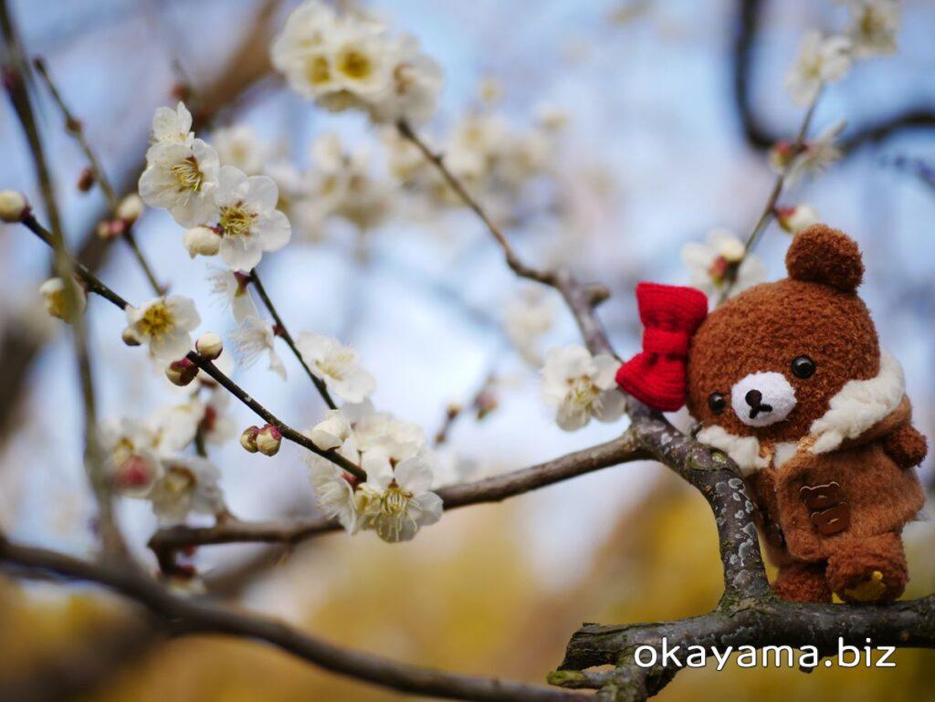 岡山後楽園 梅林 白い梅の花とチャイロイコグマ okayama.biz